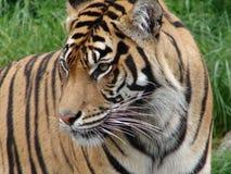 Tygrys Fotografia Stock