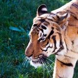 Tygrys Obrazy Stock