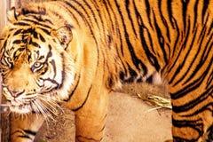Tygrys zdjęcia stock