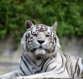Tygrys Bengal Obrazy Royalty Free