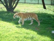 tygrys bengal Obrazy Stock