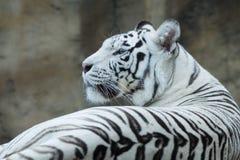 tygrys bengal Fotografia Stock