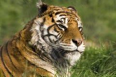 tygrys bengal zdjęcia royalty free