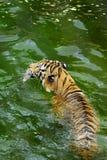 tygrys bengal Zdjęcia Stock
