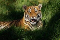 tygrys bengal Zdjęcie Royalty Free