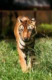 tygrys bengal Obraz Stock