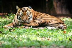 tygrys bengal Fotografia Royalty Free