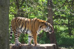 tygrys bengal Obraz Royalty Free
