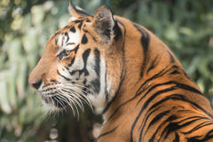 Tygrys, Bengal tygrys Fotografia Stock