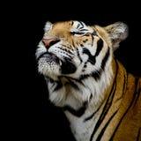 Tygrys był szczęśliwy Obrazy Stock