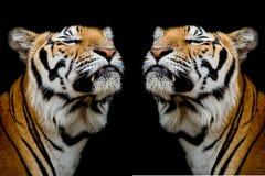 Tygrys był szczęśliwy Obrazy Royalty Free
