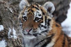 tygrys dziecka zdjęcie stock