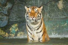 Tygrys, dziki kot Zdjęcia Stock