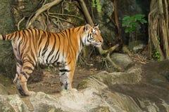 Tygrys, dziki kot Obraz Stock