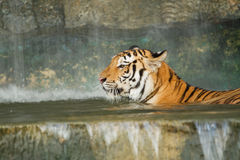 Tygrys, dziki kot Obrazy Royalty Free