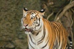 Tygrys, dziki kot Obraz Royalty Free