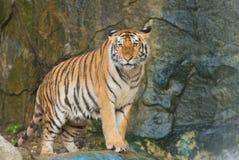 Tygrys, dziki kot Zdjęcie Stock