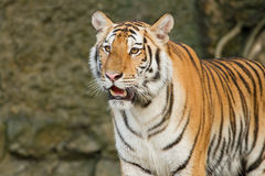 Tygrys, dziki kot w dżungli Obraz Royalty Free