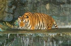 Tygrys, dziki kot w dżungli Fotografia Stock