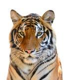 Tygrys głowa odizolowywająca Zdjęcia Royalty Free