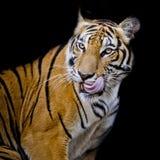 Tygrys głodny Obrazy Royalty Free