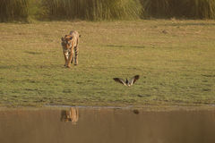 Tygrys i ptak Zdjęcia Stock
