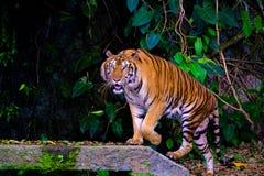 tygrys indochinese obrazy stock
