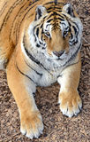 Tygrys ja w otwartej śródpolnej wodzie pitnej Obrazy Royalty Free