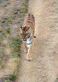 Tygrys ja w otwartym polu Fotografia Royalty Free