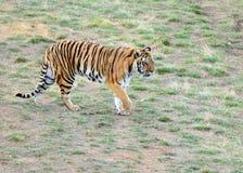 Tygrys ja w otwartym polu Zdjęcie Stock