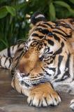 Tygrys jest wielkim i niebezpiecznym carnivore kot rodzina fotografia stock
