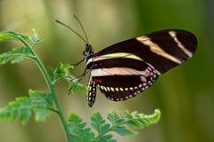 tygrys longwing zdjęcie royalty free