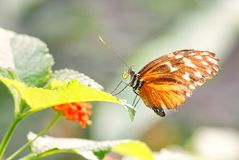 Tygrys longwing - Heliconius hecale Obrazy Stock