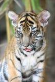 tygrys młode Zdjęcia Stock