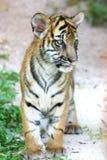 tygrys młode Obrazy Stock