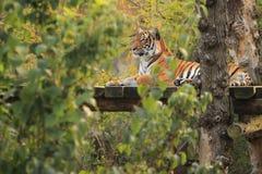tygrys malayan Zdjęcia Stock