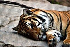 tygrys malayan Zdjęcia Royalty Free
