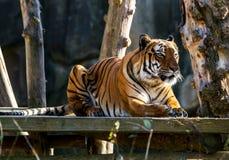 tygrys malayan Przyrody zwierzę Fotografia Royalty Free