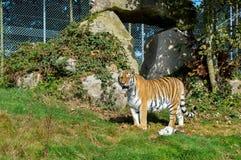 Tygrys od Dartmoor zoo zdjęcie royalty free