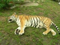 tygrys śpi zdjęcia stock