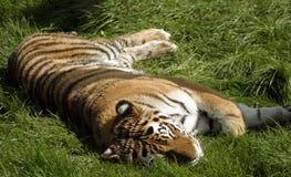 tygrys śpi zdjęcie royalty free