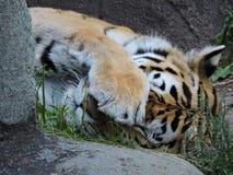 Tygrys śpi dzisiaj Fotografia Stock