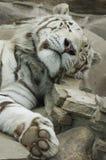 tygrys śpi white Obraz Royalty Free