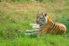 Tygrys, portret Bengal tygrys Obraz Royalty Free