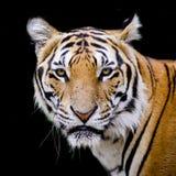 Tygrys, portret Bengal tygrys Fotografia Stock