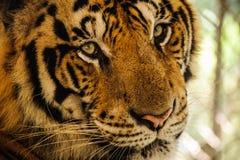 Tygrys, portret Bengal tygrys Fotografia Royalty Free