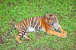 Tygrys, portret Bengal tygrys. Indonezja. Zdjęcia Stock