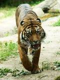 Tygrys przed atakiem Zdjęcie Royalty Free