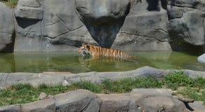 Tygrys przy Brookfield zoo Obrazy Stock