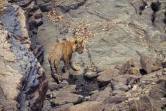 Tygrys przy waterhole Obrazy Stock